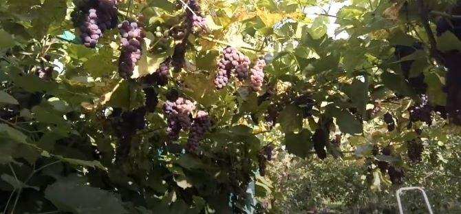 Самогон из винограда